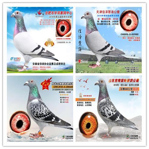 万盛源种鸽在全国发挥资料