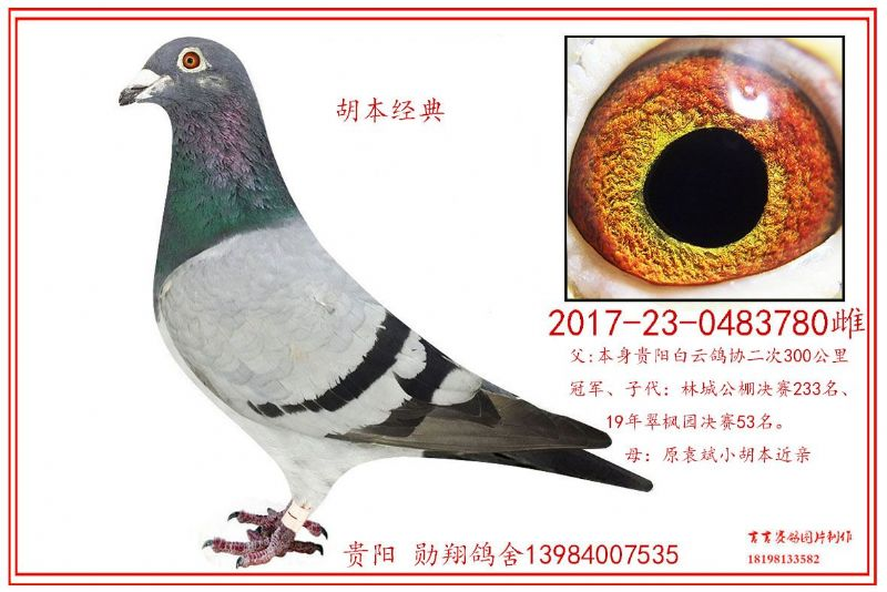 胡本经典种鸽