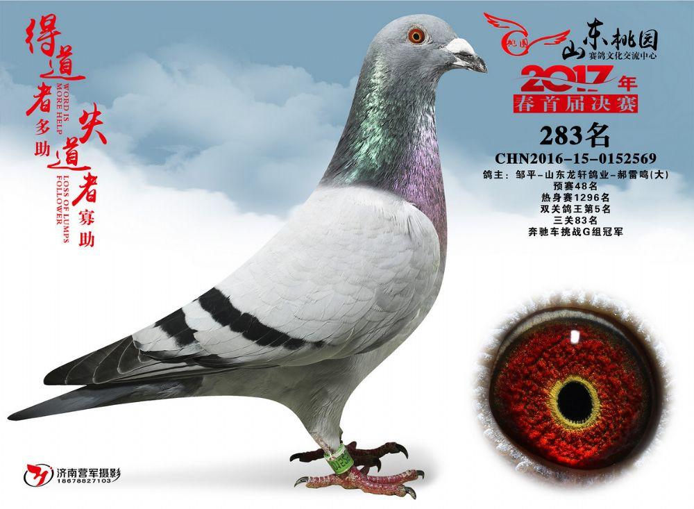 2017年山东桃园赛鸽公棚奔驰挑战赛冠军