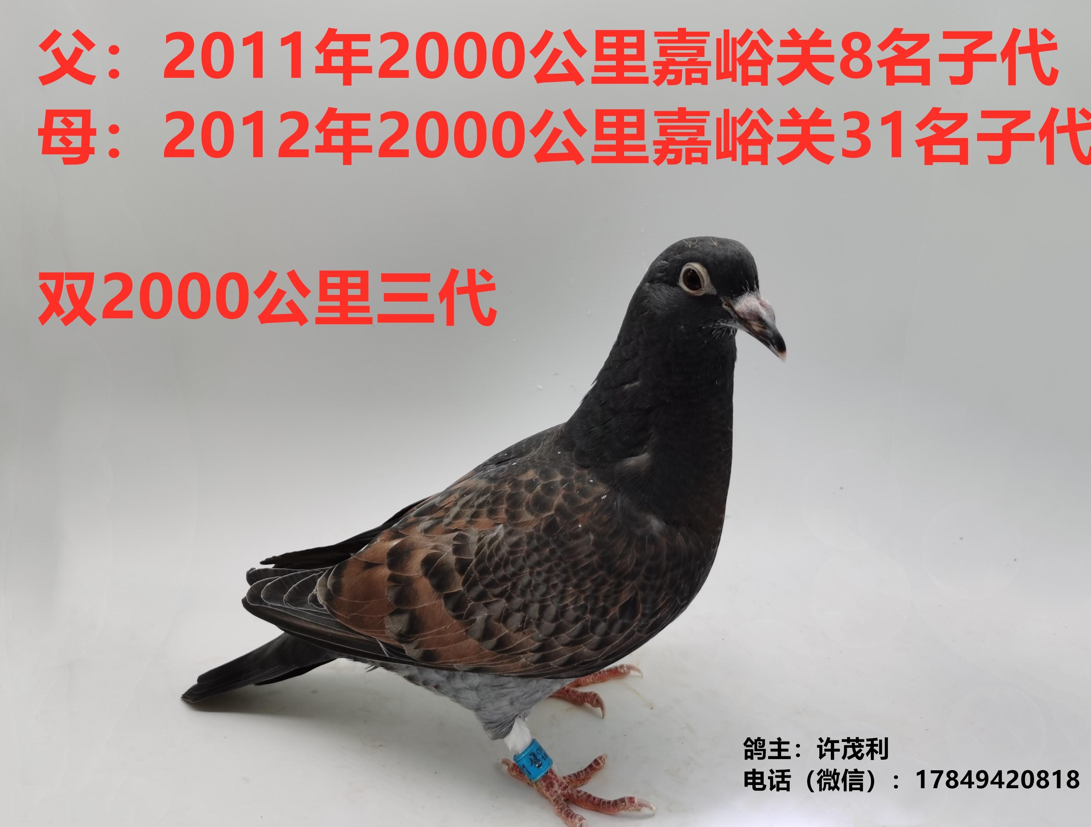 国血超远程李鸟双2000公里赛绩鸽三代