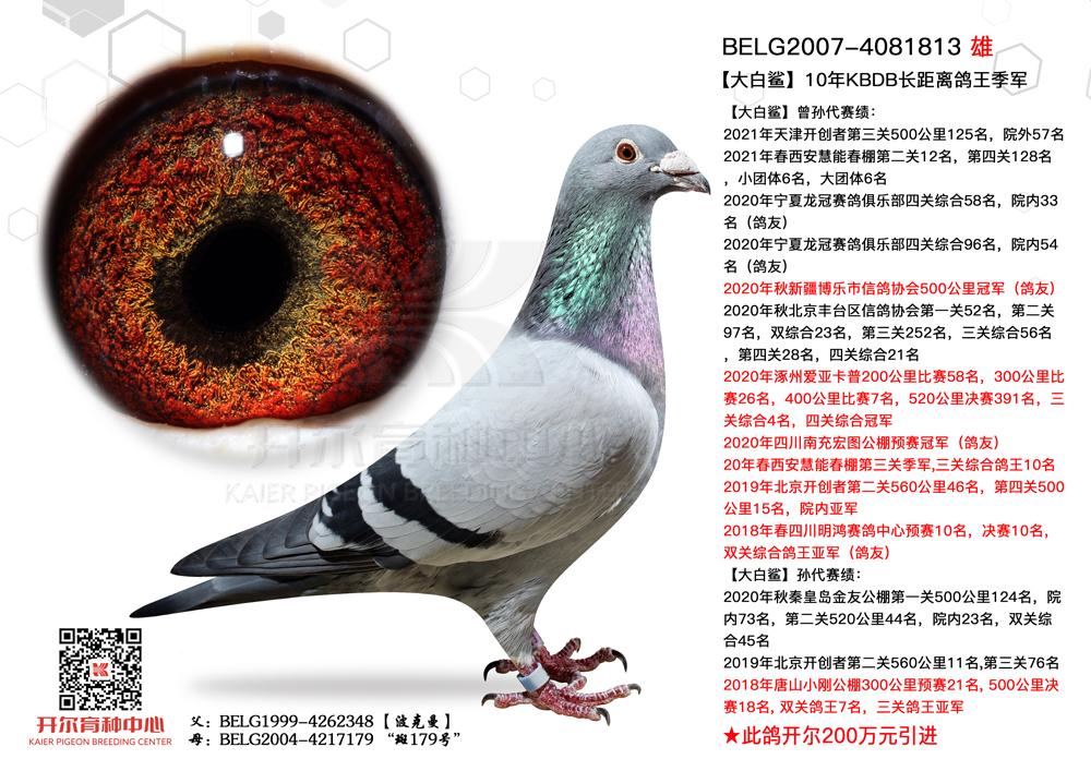 【大白鲨】:10年KBDB长距鸽王季军!