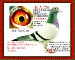 超人728(乔斯托内当年幼鸽成绩最好后代