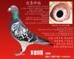 优秀种鸽(2).100%艾力克.林柏格
