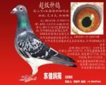超级种鸽(3) 100%艾力克.林柏格