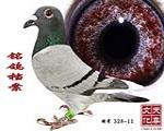 铭鸽档案 雌 特号 328-11