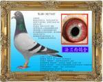(飞蝶)超级种赛鸽(小航星)直子 407