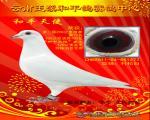 和平公棚天使白鸽