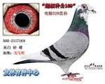 超级种鸽169