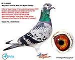 全国鸽王8位的直子罗伊帕