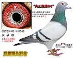 鸽王荣耀553