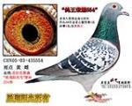 鸽王荣耀554