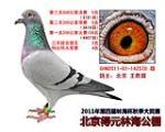 北京得原林海公棚 鸽王季军