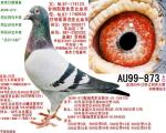 甘纳斯AU99-873(已售北京鸽友)