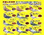 国血西翁海陆翔实战纪录种鸽群