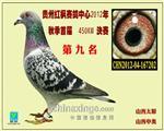 2012秋贵州红枫赛鸽中心决赛9名!