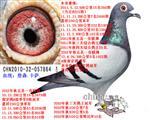 三关鸽王冠军(已售北京)