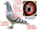 五关鸽王总亚军(已售北京)