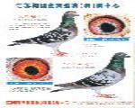 戈马利血统种鸽