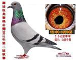 伍龙国际赛鸽515公里季军(已出让)