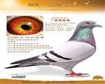 """2012年全德最佳幼鸽2位""""极速珍鸟"""""""