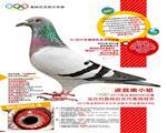 【波兹南小姐】:奥林匹克长距鸽王冠军!