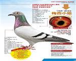 【梅西小姐】:11KBDB中距省鸽王冠军