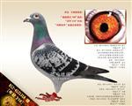 """【年轻318】""""超级鸽王798""""直孙!"""