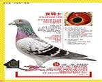 【夜骑士】:09年波尔多全国鸽王冠军!