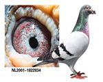林波尔系奇迹32近血种鸽