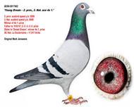 2009年全省速度幼鸽鸽王亚军、全国鸽王