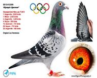 奥林匹克麻鹰