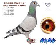 乔斯乔森原棚种鸽