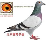 冠军鸽[北京惠琴鸽舍拥有]