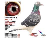凡龙原舍金母948(最高辈绝版珍藏种鸽)