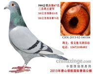 2013年唐山领航公棚三关鸽王亚军