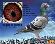 """◆杨迪汉""""鸽王季军""""300冠军♂"""