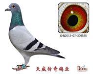 天威5号近亲种鸽