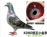 安特卫普KDBD-鸽王小金手【非卖品】
