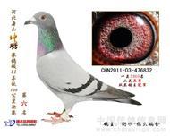 鸽王832已售