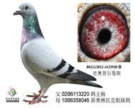 鸽王杨直子920