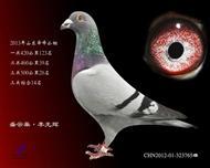 舜峰三关鸽王14名