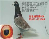 红色杨阿腾506