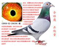 全球鹰正能量,,优良种鸽::已售