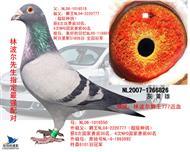 中英信鸽养殖基地