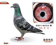 詹森种鸽621018