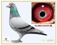 奥林匹克代表鸽索诺直子百万号之父