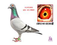 CHN11-01-181364雄