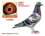 『博翔号-唐都鸽王』、仅供欣赏