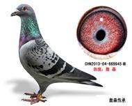 詹森血统子代鸽-669945(已售)