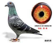 詹森子代鸽-669932